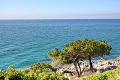 Pine trees at sea stock images