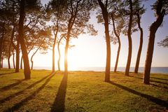 Pine trees on the sea coast at sunset. Beautiful sunset seen through pine trees over a sea Stock Photography