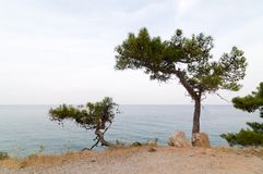 Pine trees on a sea shore Stock Photo