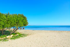 Pine trees by the sea Royalty Free Stock Photo