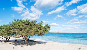 Pine trees by the sea Royalty Free Stock Photography