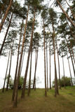 Pine trees on the seashore. Forests in northern Russia Stock Images