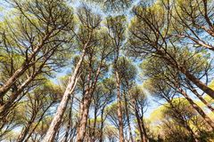 Pine trees seen from below in Caprera island. Sardinia Royalty Free Stock Image