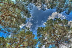 Pine trees seen from below Royalty Free Stock Image