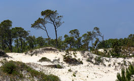 Pine trees and shrubs growing on a mature sand dune Royalty Free Stock Images
