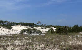 Pine trees and shrubs growing on a mature sand dune Royalty Free Stock Image