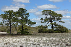 Pine trees and shrubs growing on a sandy island in Florida. Three mature pine trees and shrubs growing on a sandy island in Florida royalty free stock photos