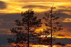 Pine trees  silhouette Stock Photography