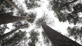 Pine trees silhouettes bottom view landscape. Pine trunks bottom view. Pine trees silhouettes bottom view. Forest landscape against sky stock video footage