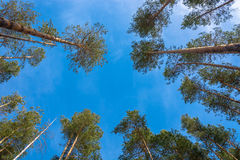 Pine trees and sky. Stock Photography