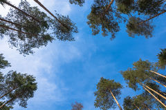 Pine trees and sky. Royalty Free Stock Photography