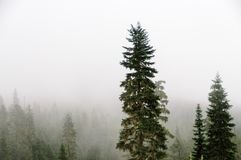 Pine trees at the slopes of mount Raineer royalty free stock image