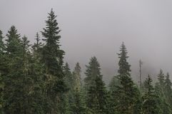 Pine trees at the slopes of mount Raineer stock photo
