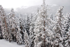 Pine trees in snow Royalty Free Stock Photo