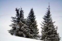 Pine-trees in snow. Beautiful scene in Bucegi Mountains Royalty Free Stock Images