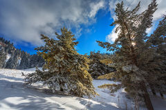 Pine trees in the snow Royalty Free Stock Photo