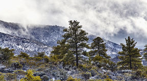 Pine Trees in Snow Covered Mountains Stock Photography