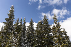 Pine trees in snow Stock Photography