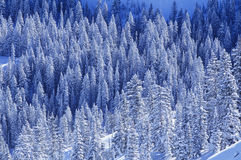 Pine trees in snow elevated view Stock Images