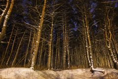 Pine trees in the snow in the forest with a warm glow. Winter beautiful starry night landscape. stock photo