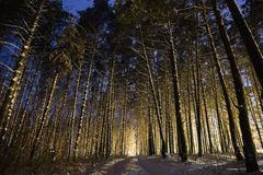 Pine trees in the snow in the forest with a warm glow. Winter beautiful starry night landscape. royalty free stock photo