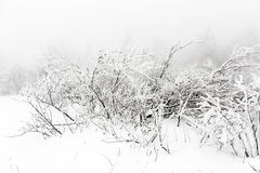 Pine trees in the snow in front of a blizzard Royalty Free Stock Image