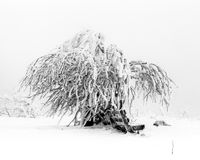 Pine trees in the snow in front of a blizzard Royalty Free Stock Photos
