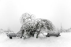 Pine trees in the snow in front of a blizzard Stock Photos
