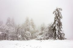 Pine trees in the snow in front of a blizzard. In the mountains Royalty Free Stock Photos