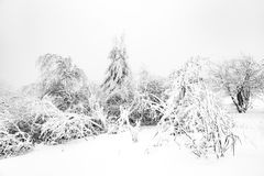 Pine trees in the snow in front of a blizzard. In the mountains Stock Images