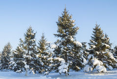 Pine trees with snow. In northeast China, after the winter snow, heavy snow covered the earth. And all the trees of the woods covered with a layer of white snow Stock Photos