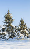 Pine trees with snow Stock Photo