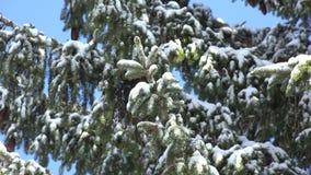 Pine Trees, Snow, Snowfall, Winter. Stock video of a pine tree stock footage