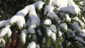 Pine Trees, Snow, Snowfall, Winter. Stock video of a pine tree stock video