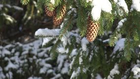 Pine Trees, Snow, Snowfall, Winter. Stock video of a pine tree stock video footage