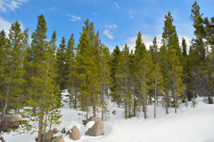 Pine Trees with Snow on a Sunny Day.  Royalty Free Stock Photo