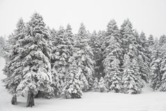 Pine trees and snow. In winter landscape stock photo