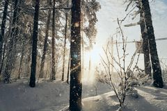 Pine trees in the snow in a winter sunny day royalty free stock photography