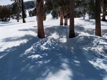Pine trees in snowed mountain. Sun filtering through pine tree branches projecting delicate shades on the snow. Groomed ski runs in the back Royalty Free Stock Photography