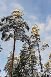 Pine trees after a snowfall Stock Photo