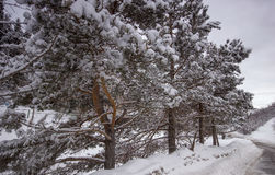 Pine trees snowing. Pine trees in snow stand near the road in the mountains Stock Images
