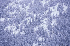 Pine Trees in Snowstorm, Royalty Free Stock Photography