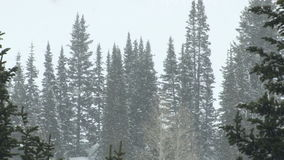 Pine trees in snowstorm. Video of pine trees in snowstorm stock video footage