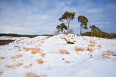 Pine trees on snowy hill in winter Stock Image