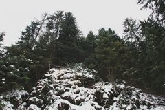 The pine trees on the snowy rocks stock images