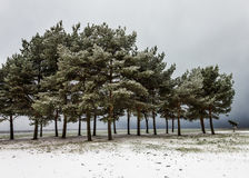 Pine Trees on Snowy Sea Bank. Little pine grove on the shore of a bay at the winter Stock Images