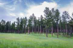 Pine trees in South Dakota Royalty Free Stock Photos