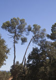 Pine trees south of france Stock Photos