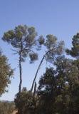 Pine trees south of france Zdjęcia Stock