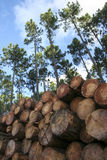 Pine trees and stacked logs forestry Royalty Free Stock Images